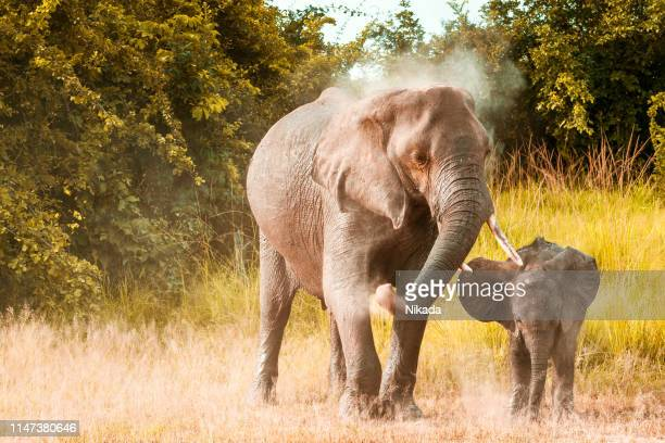 african elephant family in wildlife - animal family stock pictures, royalty-free photos & images