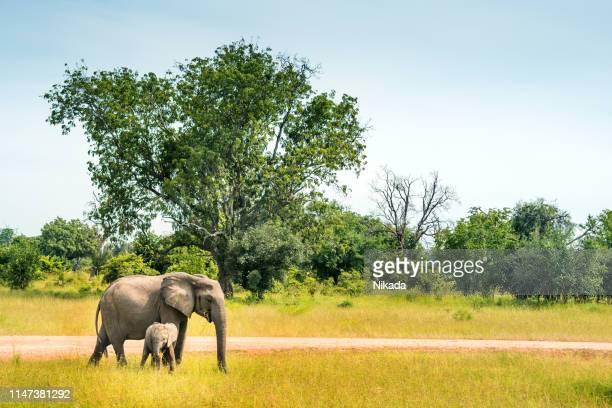 野生動物のアフリカゾウの家族 - ザンビア ストックフォトと画像