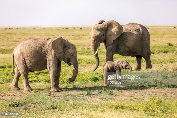 african elephant family - baby elephant stock photos and pictures