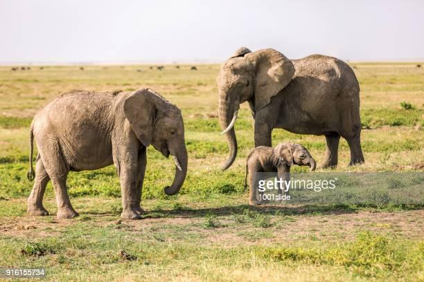 Afrikanische Elefanten Familie