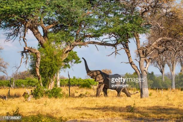 elefante africano alimentándose en árboles, serengeti, tanzania - tanzania fotografías e imágenes de stock
