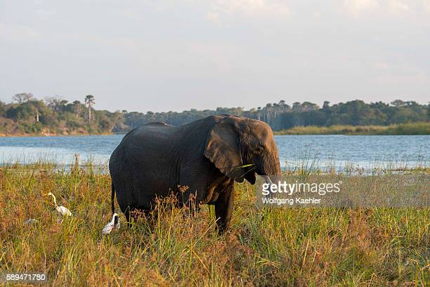 African elephant feeding on grass on the shore of the Shire River in Liwonde National Park Malawi