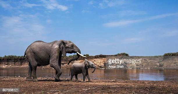 African elephant female and calf walking