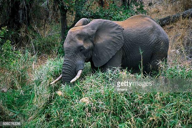 African elephant foraging in dense vegetation Kruger National Park South Africa