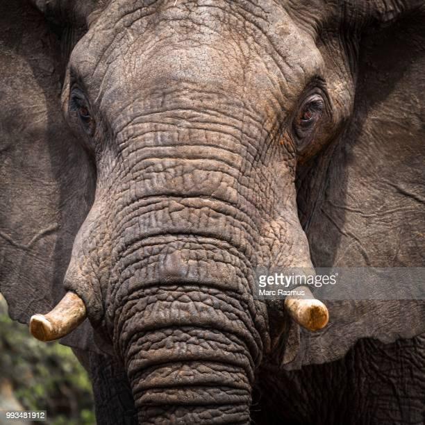 african elephant (loxodonta africana), ghoha hills, chobe national park, botswana - tusk stock pictures, royalty-free photos & images