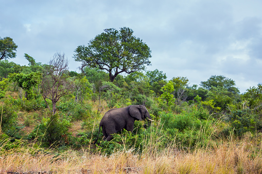African elephant grazes 1254527872