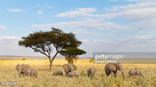 African Elephant Herd and Acacia Tree in Tanzania
