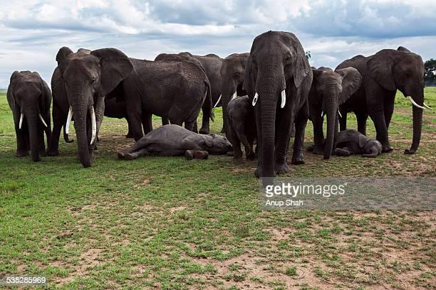 African elephant herd guarding sleeping babies