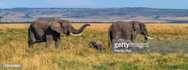 african elephant herd  happily grazing in the masai mara savanna. - erbivoro foto e immagini stock