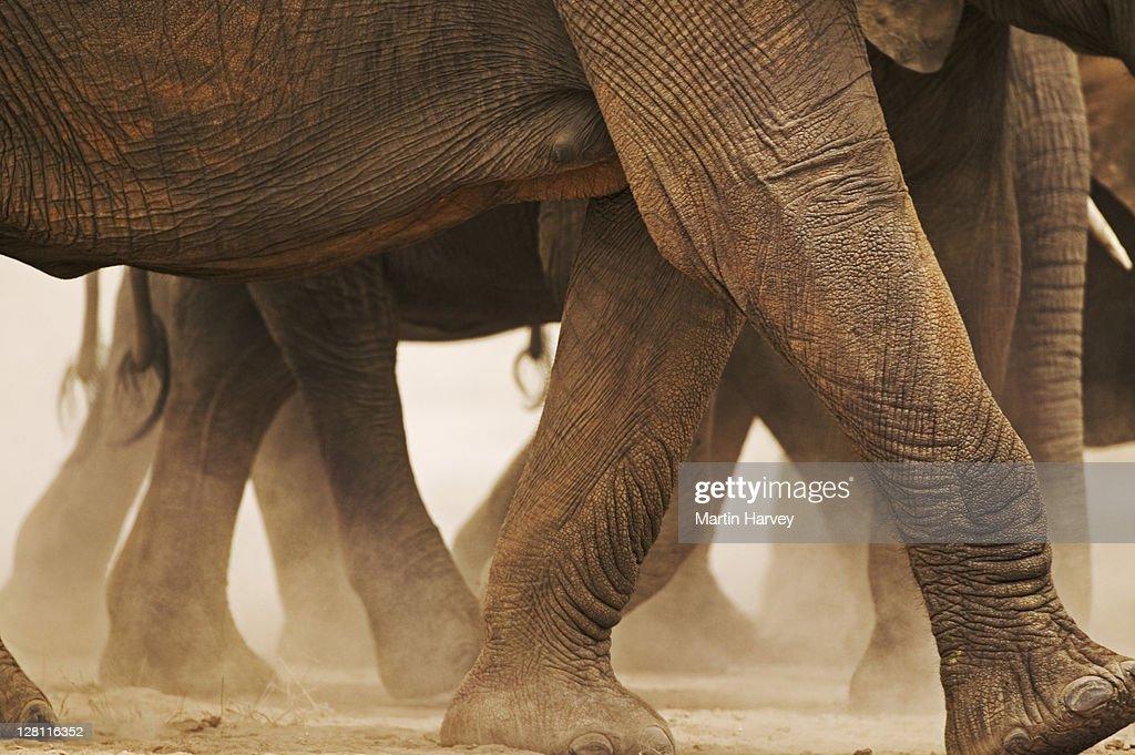 African Elephant herd, Loxodonta africana, on the move. Detail of feet. Amboseli National Park Kenya. Dist. Sub-saharan Africa : Stock Photo