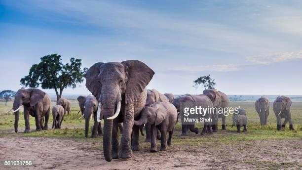african elephant herd on the move. - 動物の一団 ストックフォトと画像