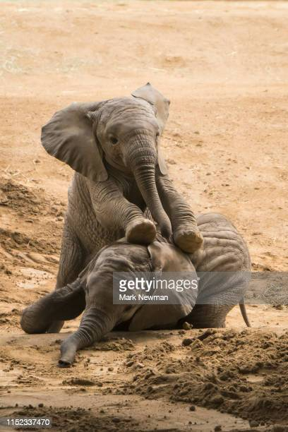 african elephant, immature - herbivorous stock photos and pictures