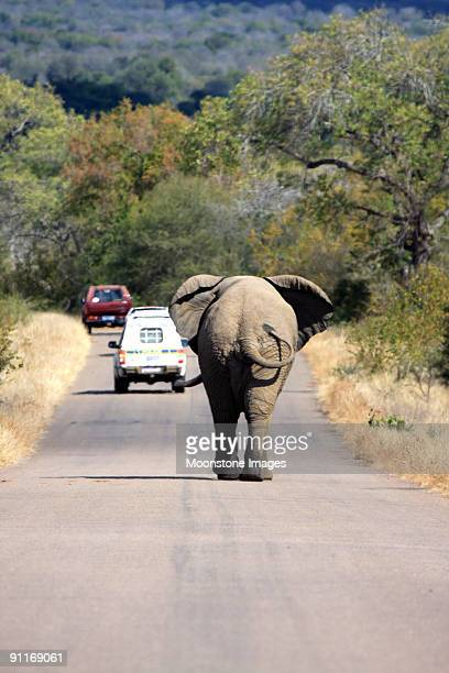 african elephant in kruger park, south africa - mpumalanga province stock pictures, royalty-free photos & images