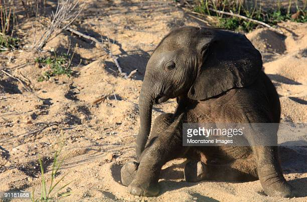 African Elephant in Kruger Park, South Africa