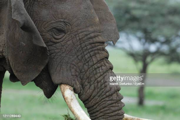 african elephant in lake manyara national park - marek stefunko stock pictures, royalty-free photos & images