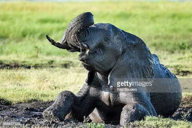 African Elephant in Mud, Botswana