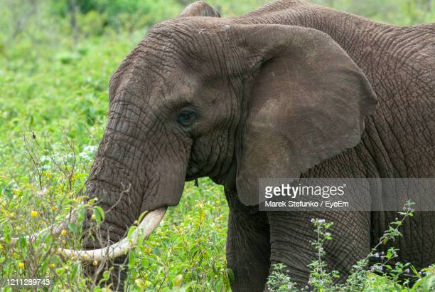 african elephant in ngorongoro crater - marek stefunko stock pictures, royalty-free photos & images