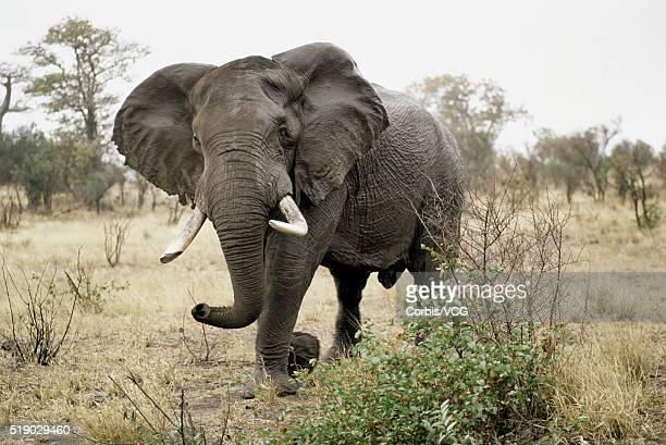 African Elephant in Savanna