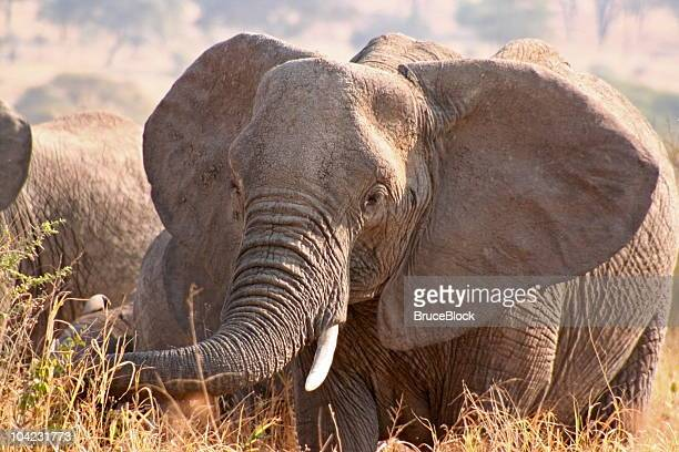african elephant in tanzania - tarangire national park stock pictures, royalty-free photos & images