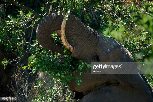 African elephant in the bush eating leaves from tree Kruger National Park South Africa