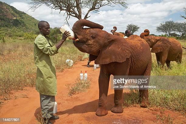 African Elephant keeper feeding milk to Adopted Baby African Elephants at the David Sheldrick Wildlife Trust in Tsavo national Park Kenya