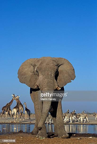 African Elephant, Loxodonta africana, at watering hole, with other animals in background, Etosha National Park, Namibia