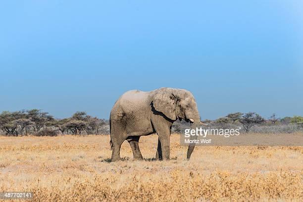 african elephant -loxodonta africana-, bull elephant, etosha national park, namibia - semiarid stock-fotos und bilder