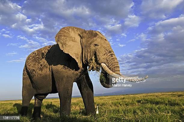 African Elephant, Loxodonta africana. Bull elephant with large tusks, feeding. Amboseli National Park, Kenya. Dist. Sub-saharan Africa