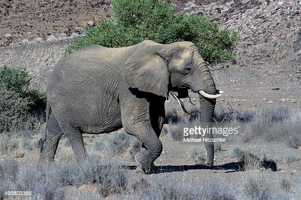 african elephant -loxodonta africana-, desert elephant, damaraland, kunene region, namibia - desert elephant stock pictures, royalty-free photos & images