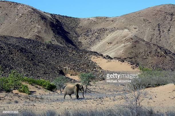 african elephant -loxodonta africana-, desert elephant in the aba-huab dry riverbed, damaraland, kunene region, namibia - desert elephant stock pictures, royalty-free photos & images