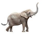 African elephant - Loxodonta africana female.