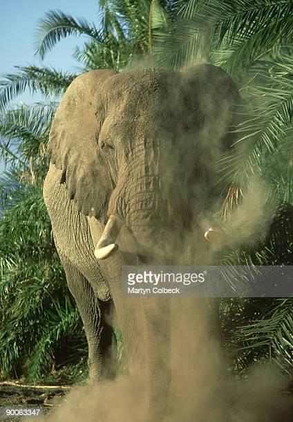 african elephant loxodonta africana musth bull dusting (sleepy) amboseli n.p. kenya