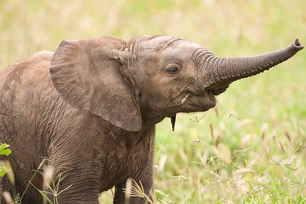 African Elephant Loxodonta Africana Wall Art