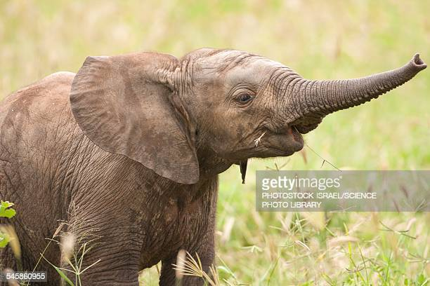 african elephant loxodonta africana - baby elephant stock photos and pictures