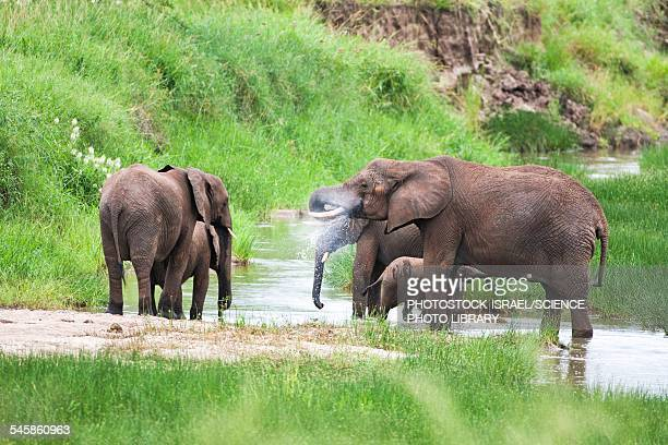 african elephant loxodonta africana - photostock stock pictures, royalty-free photos & images