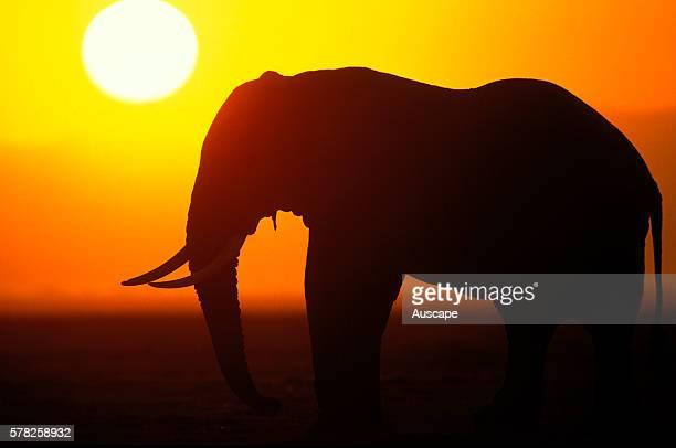 African elephant Loxodonta africana single animal in silhouette against sun low in golden sky Tanzania