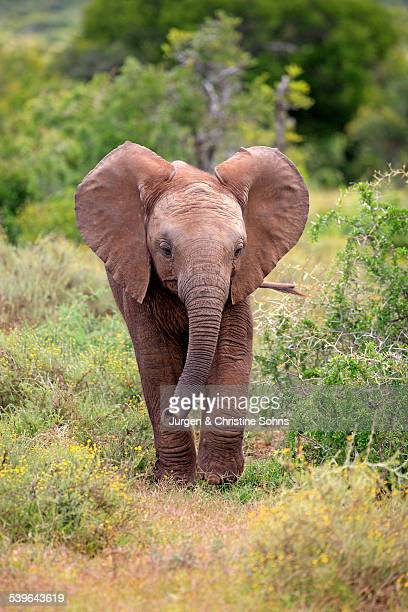 african elephant -loxodonta africana-, young, addo elephant national park, eastern cape, south africa - baby elephant stock photos and pictures