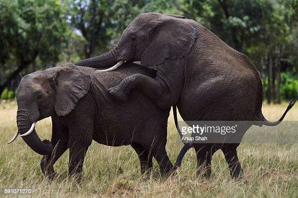 Elephant Sex Stock Photos And Pictures  Getty Images-8795
