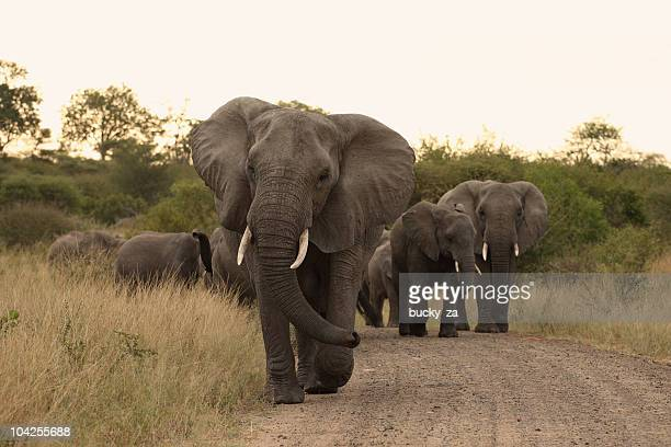 African elephant matriarch leading her herd up a dirt track