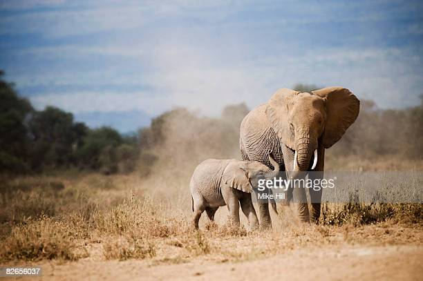 african elephant mother and calf - animal family stock pictures, royalty-free photos & images