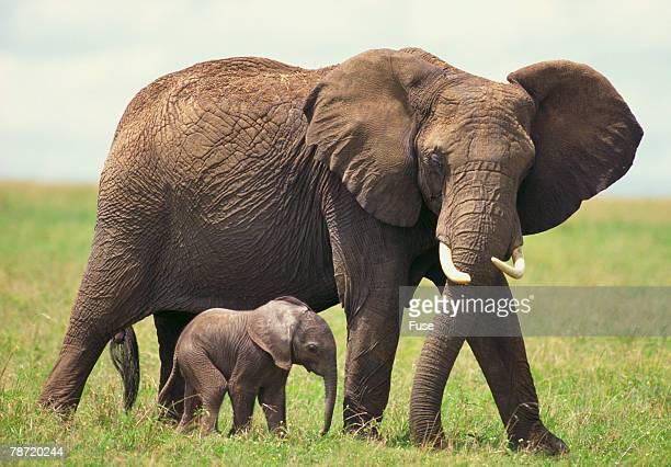 African Elephant Mother and Young in Grass
