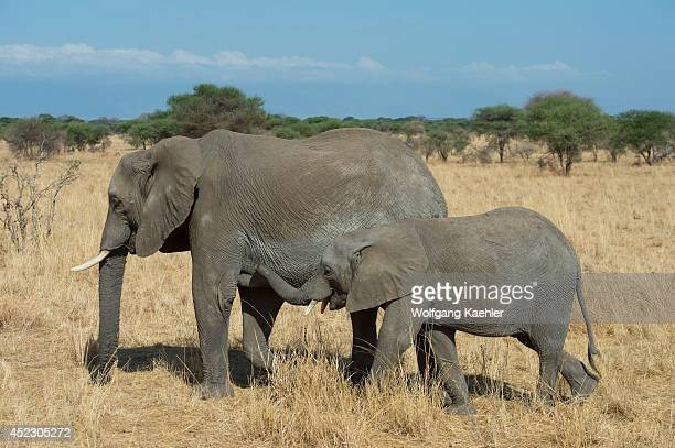 African elephant mother with baby in Tarangire National Park in Tanzania East Africa