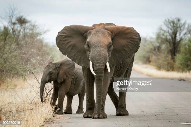 African elephant (Loxodonta africana), mother with young on street, Kruger National Park, South Africa