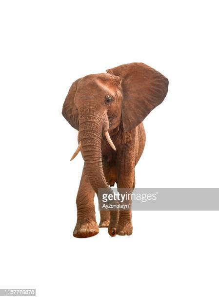 african elephant on white background - white elephant stock photos and pictures