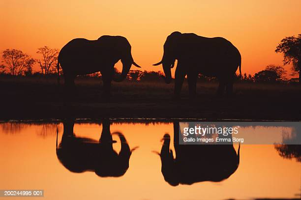 African elephant pair on plain, silhouetted against sunset