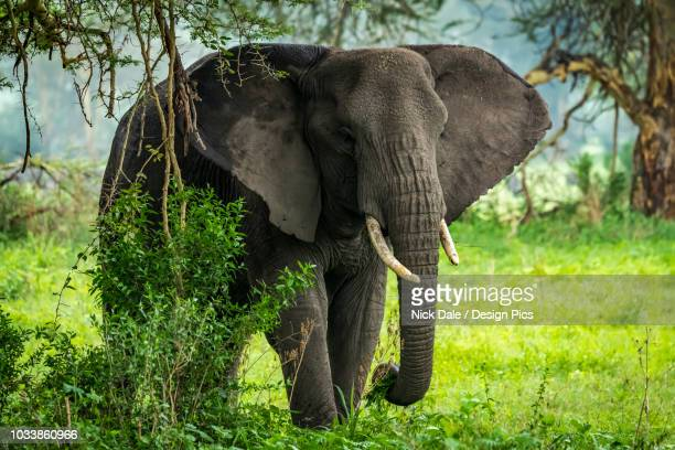 African elephant (Loxodonta africana) picks leafy branches in clearing, Ngorongoro Crater