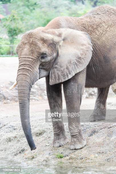 african elephant - ian gwinn stock photos and pictures