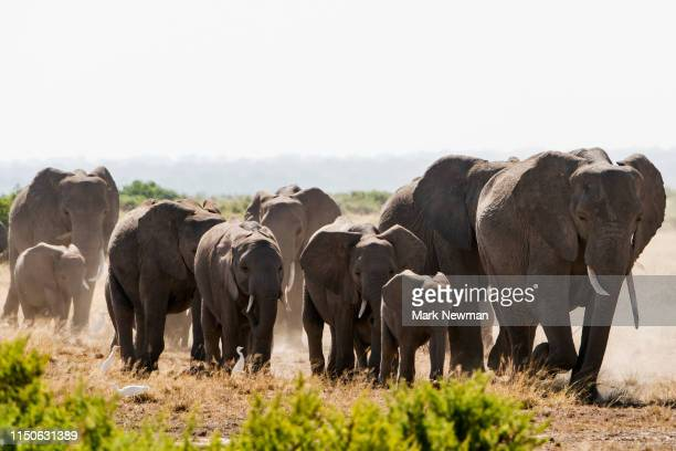 african elephant - kenya newman stock pictures, royalty-free photos & images