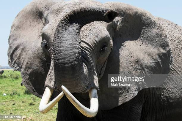 african elephant - tusk stock pictures, royalty-free photos & images