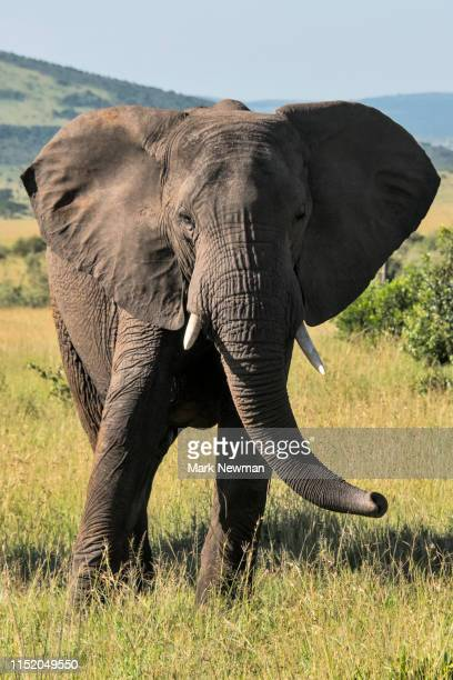 african elephant - african elephant stock pictures, royalty-free photos & images